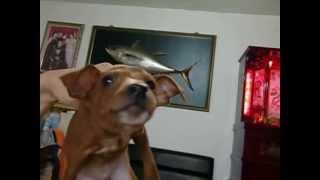 影片 迷你杜賓犬公2個月多