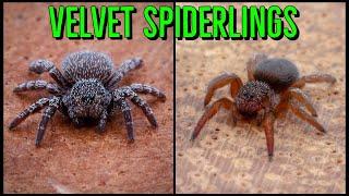 NEW Velvet Spiders & A. johnnỳcashi UNBOXING!