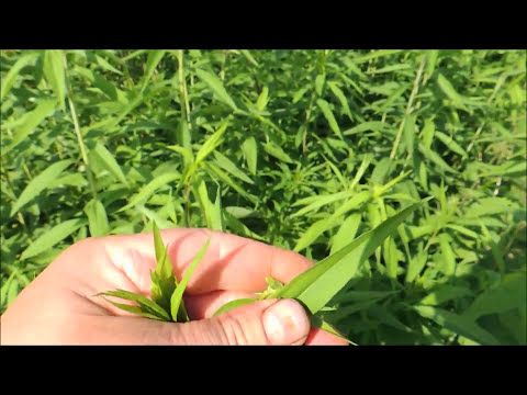 Вопрос: Какие цветы похожи на мимозу, название и фото их какое?