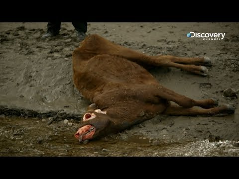 The Unexplained Files - Cattle Mutilation