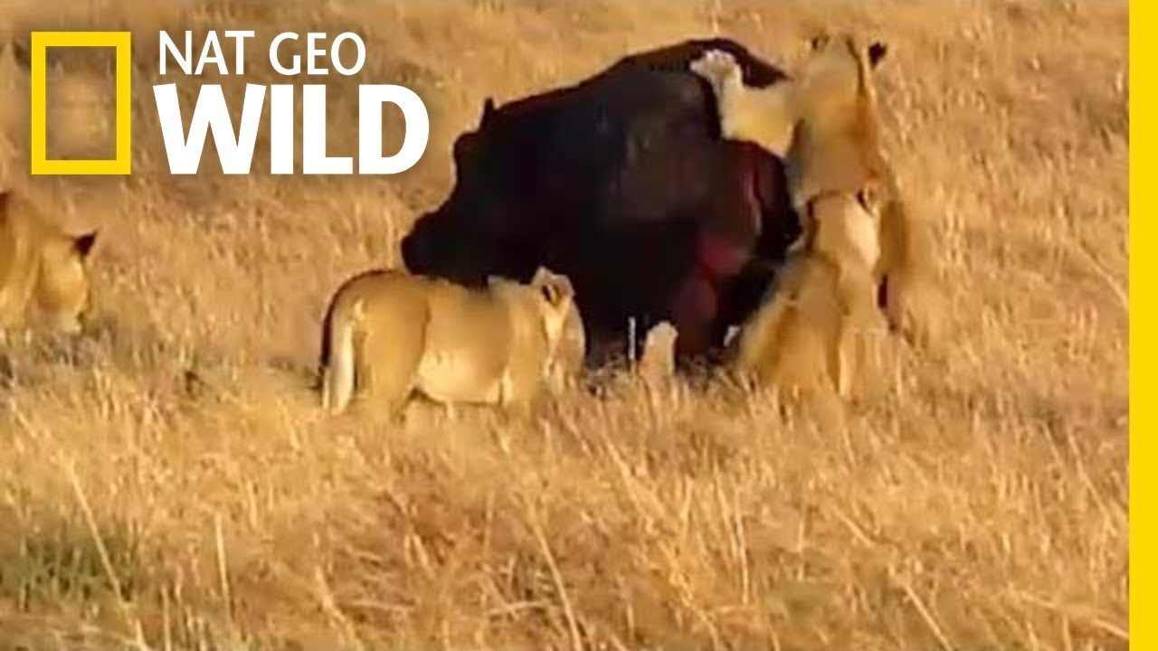 National Geographic Lion Documentary Lions vs Giants Nat Geo Wild Animal  Documentary