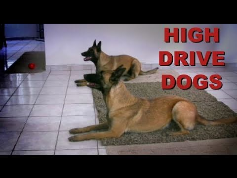 training-high-drive-dogs