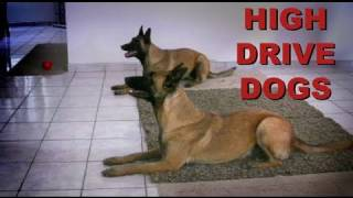 Training High Drive Dogs