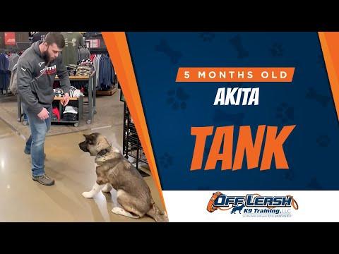 Tank | 5 Month Old Akita | Off Leash K9 | Basic Obedience | Dog Training | NOVA
