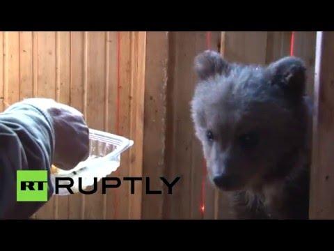 Смотреть Семья из Ухты спасла оголодавшего медвежонка онлайн