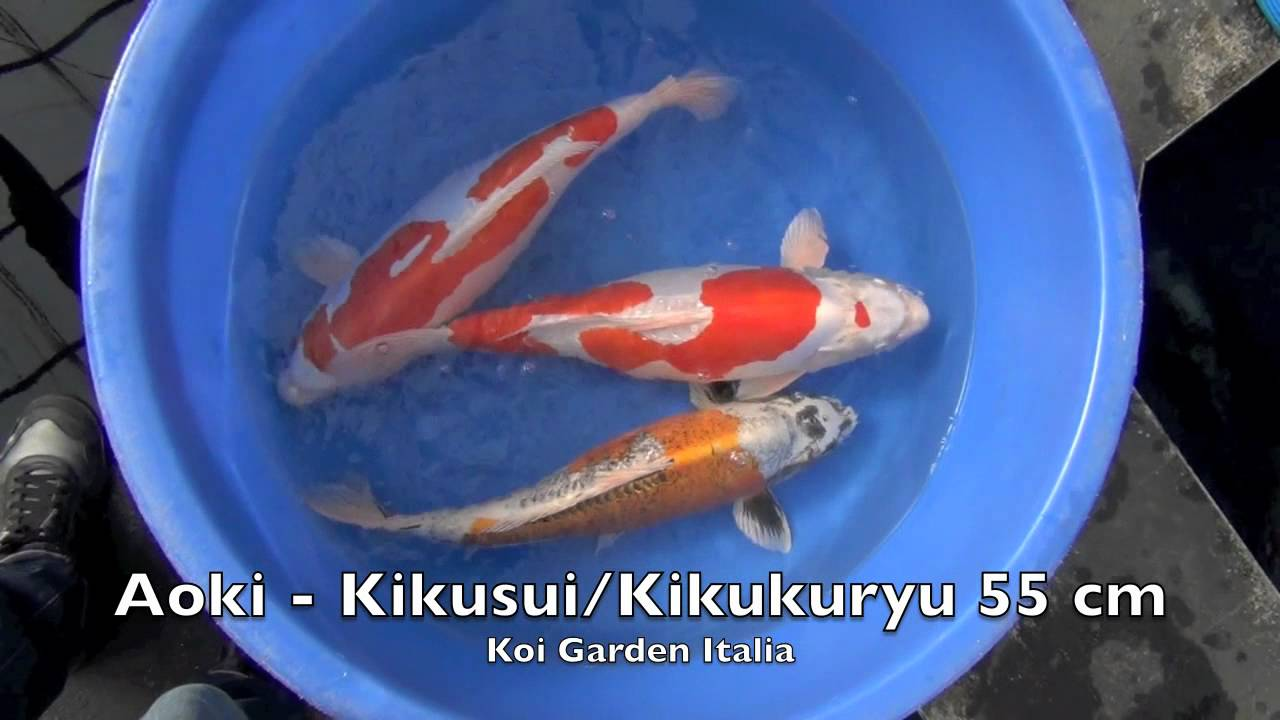 Koi fish high quality aoki koi by koi garden italia for High quality koi