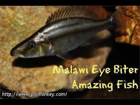 Malawi Eye Biter: Amazing Fish - YouTube