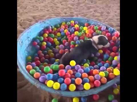 Pitbull Playing in Pool of Balls Is Cuteness Overload