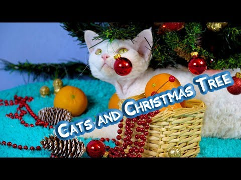 Curly cats Devon Rex play with Christmas tree. Cat santa claus.