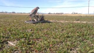 Kestrel Trapping Falconry Bal-Chatri Trap