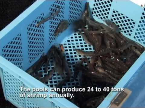 The world's first Indoor Shrimp Production System (ISPS)