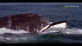 I Predator: Killer Whale (COMPLETE) [HD] thumbnail