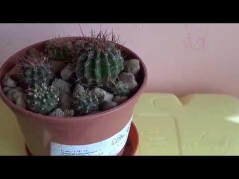 #511.Отсаживаем детки кактусов,как я укореняю.