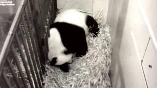Prayers for Sad Panda Mama Mei Xiang  9/15/2017