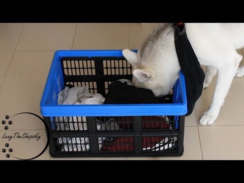 Never leave your fresh laundry if you have a dog!