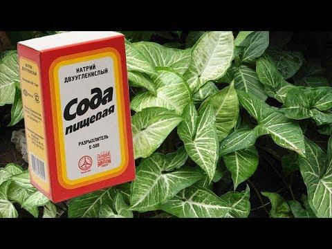Вопрос: Как приготовить пивной раствор для домашних цветов?
