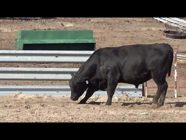 Connealy Angus Lot 250