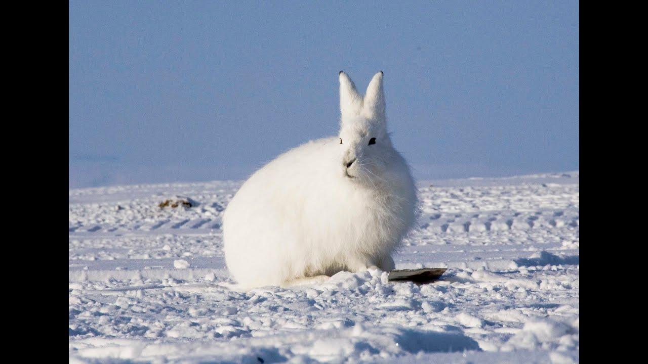 Sevimli Ve Beyaz Kutup Tavşanı Youtube