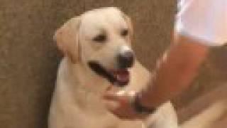 Perro Labrador Entrenamiento Training Dog