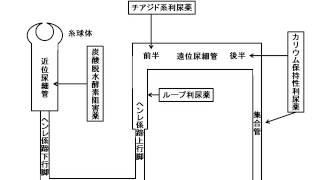 利尿薬の作用部位
