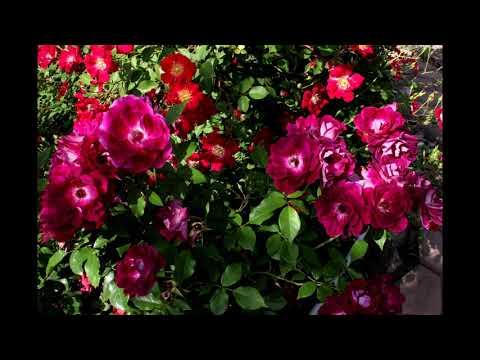 Вопрос: Сорт розы Даниэль Желен какие есть похожие сорта?
