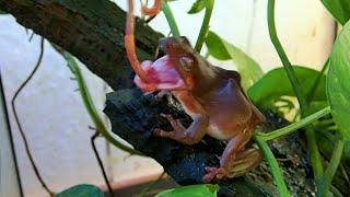 Green Tree Frog Feeding Time || Korallenfinger Fütterungszeit