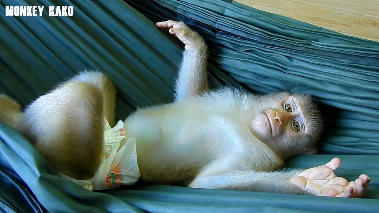 Smart Monkey Kako Playing And Sleep On Hammock