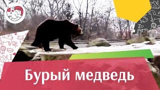 Бурый медведь Внешний вид на ilikepet