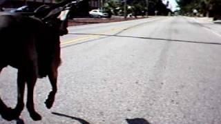Weimaraner Dog Sledding In Florida