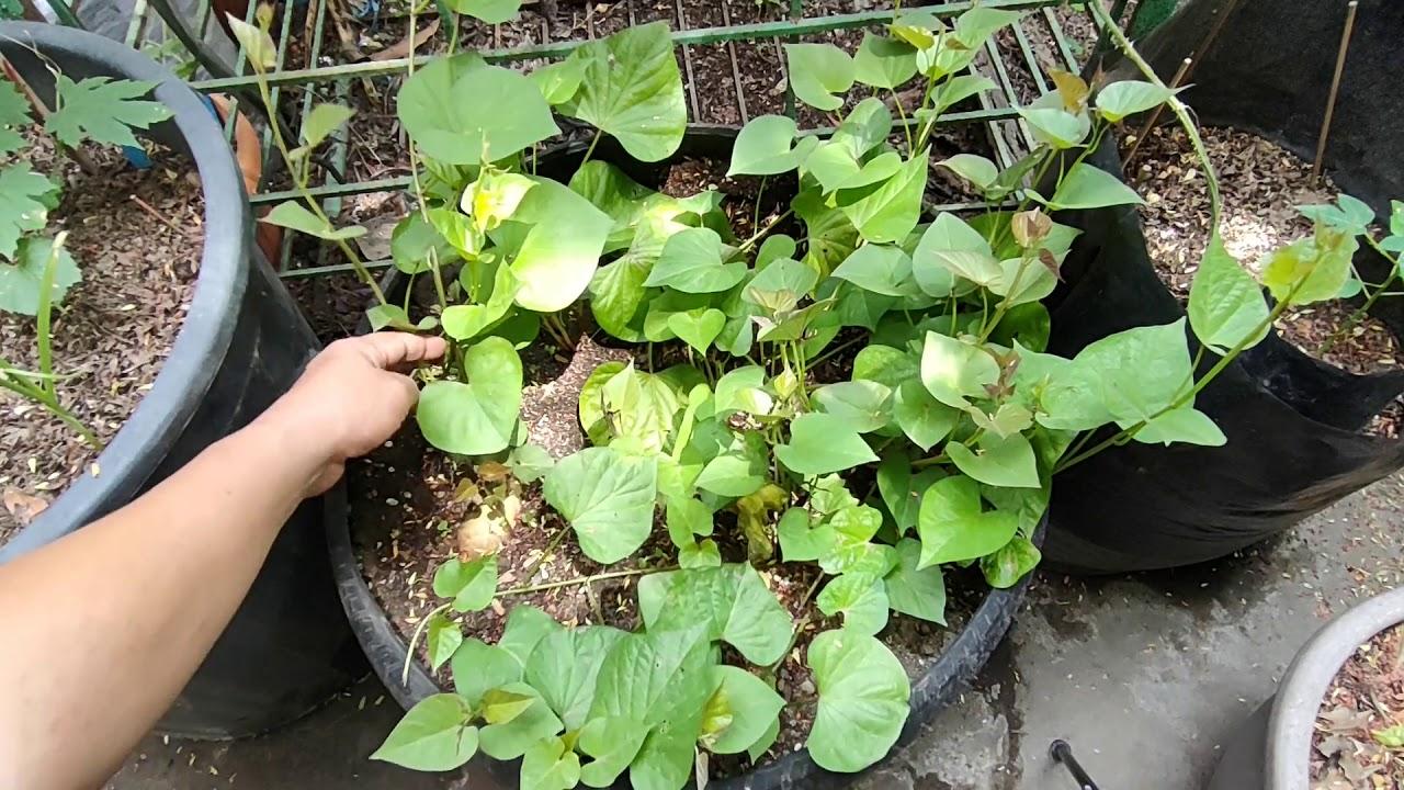 Paano Magtanim ng Sweet Potato (Kamote) sa Container