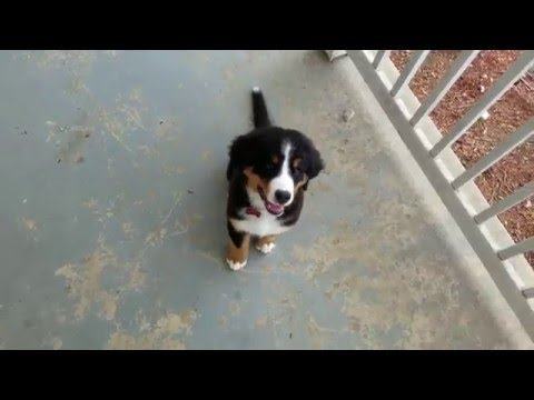 Training a bernese mountain dog puppy