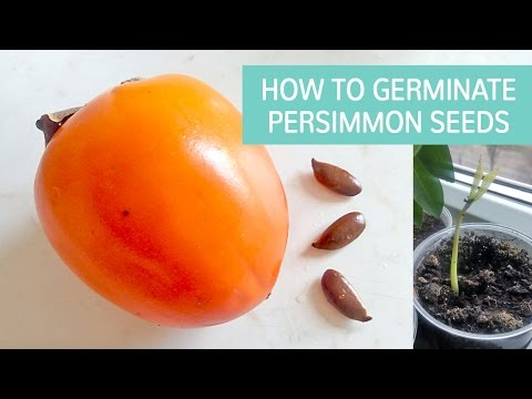 How To Germinate Persimmon Seeds