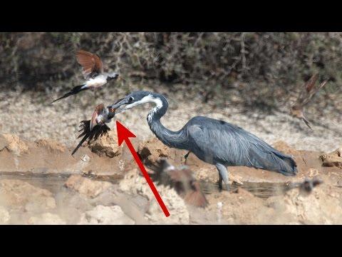 Heron kills dove at waterhole after stalking it | Bird swallowing & hunting footage, Kgalagadi