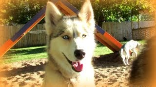 Should I Use A Collar Or A Harness To Walk My Husky? Fan Friday 119