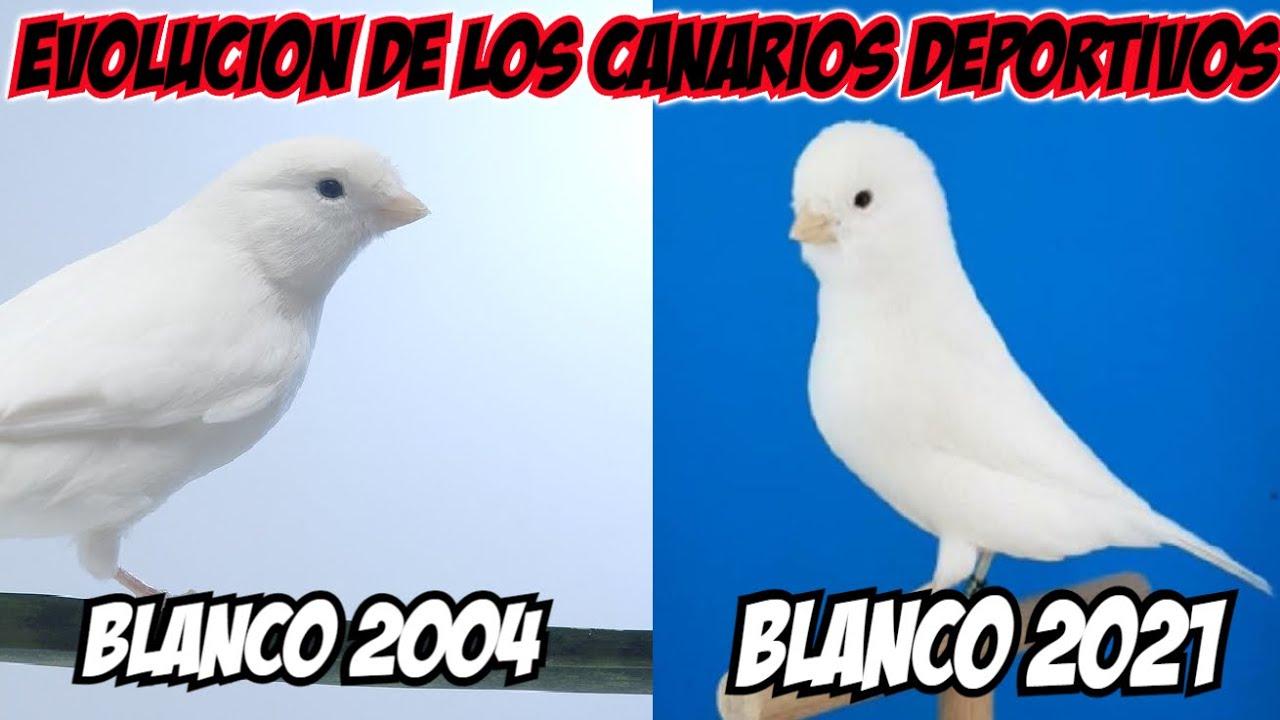 EVOLUCION DE LOS CANARIOS DEPORTIVOS