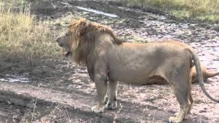 ハネムーン中のライオンのカップルに遭遇。