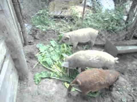 видео: Продаю свиней породи Венгерська пухова мангалиця