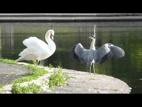 grey heron wingdrop display with swan