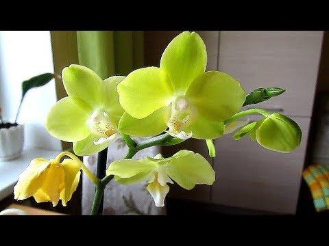 Желтая орхидея или долгожданная мечта сбылась!!!!!