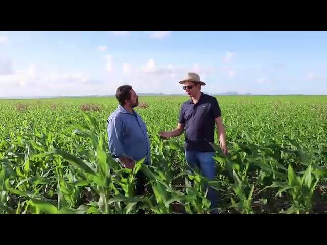 Confira o desenvolvimento do milho plantado com a técnica do plantio direto 17/06/2019