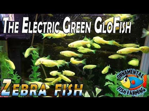 The Electric Green GloFish (Danio Rerio) - Green Zebra Fish Aquatic