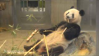 2020/1/26 (5) お腹ふわふわぽんぽこりんのシャンシャンとシンシンのドンゴロス   Giant Panda Xiang Xiang