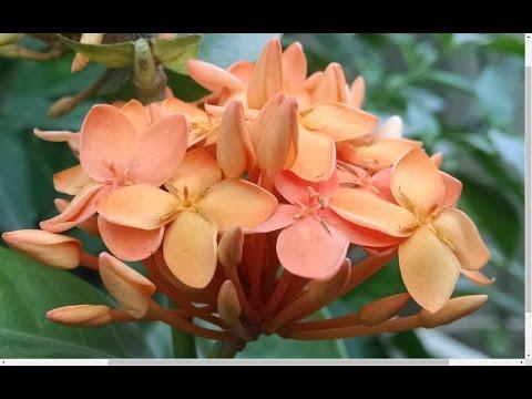 How to Care Ixora Plant | Summer Flowering Plants | Ixora Plant Ko Kese Grow Karin