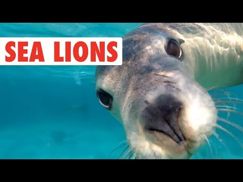 Funny Sea Lion/Seal Video Compilation | Dogs of the Sea