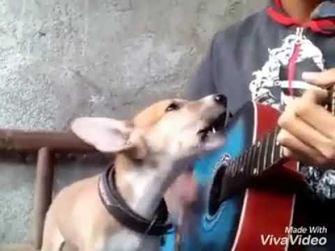Dog singing with guitar