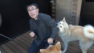 秋田犬が僕にだけ噛みつく理由がわかりました!