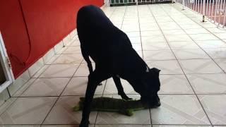 Labrador Mix American Bulldog