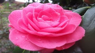 The Most Beautiful Tsubaki (Camellia) - Spring In Japan, the best flower delivery, flowers wallpaper