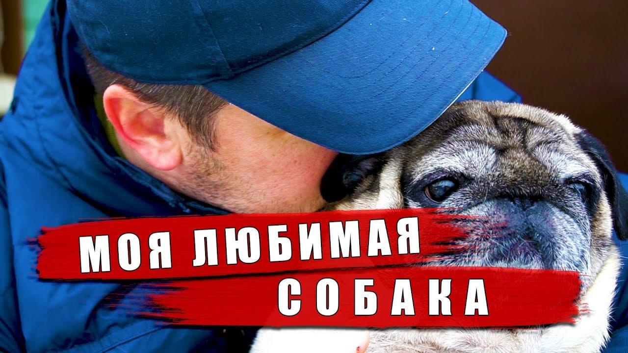 Собака лучший друг человека. Мопс Мишка - моя любимая ...