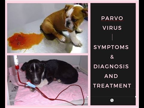 Parvo Virus Symptoms & Diagnosis And Treatment